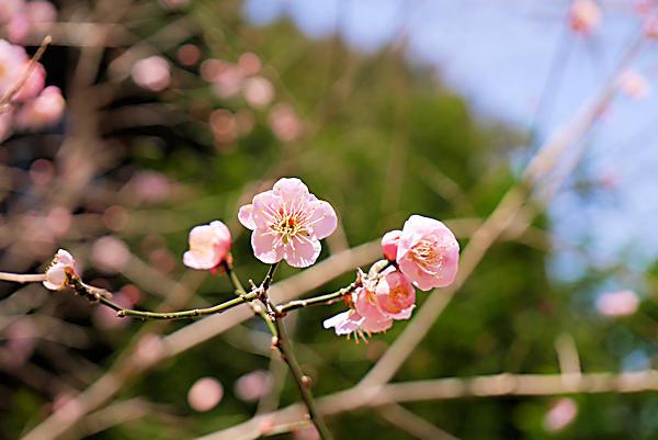 20190224二上山 (1)石切場への登り口の梅の花