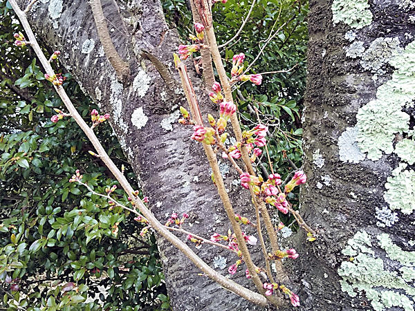 20190330二上山 (2)雌岳山頂_桜のつぼみ
