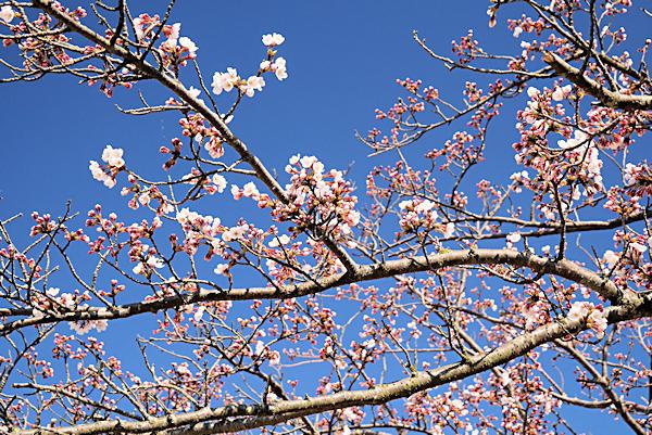 20190404二上山 (4)雌岳山頂の桜一分咲き