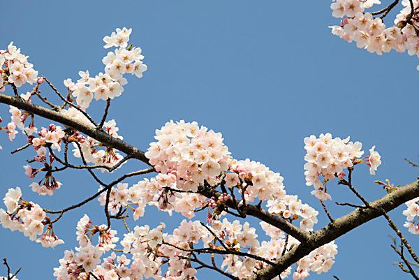 20190406二上山 (4)雌岳山頂の桜2