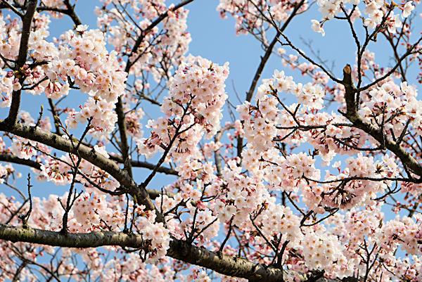 20190406二上山 (3)雌岳山頂の桜1