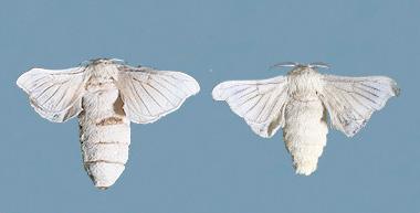 左がメス、右がオス|カイコガ|みんな知ってる?未来に羽ばたくカイコ