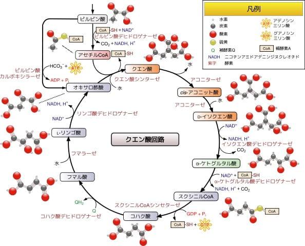TCA(クエン酸)回路 ウィキペディア